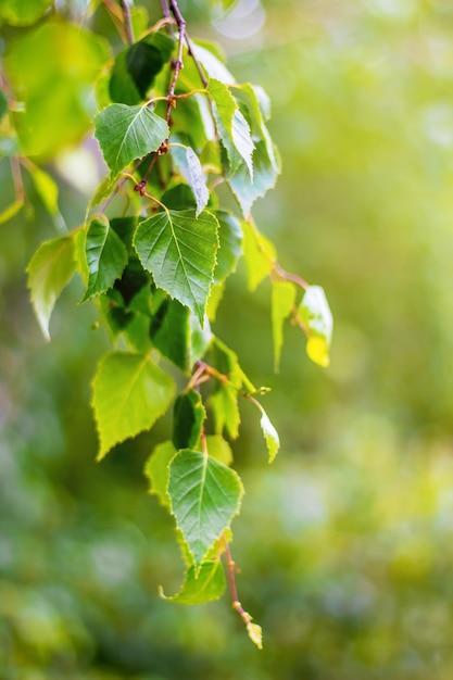 Ramo di betulla con foglie fresche in primavera o in estate. sfondo con foglie verde brillante di betulla_ Foto Premium