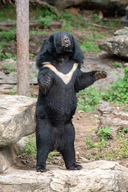 Orso nero con la forma a v sul collo in piedi in attesa di cibo Foto Premium