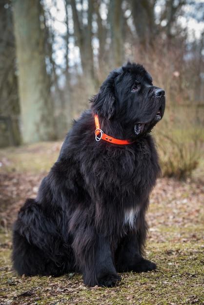 Cane di taglia gigante di terranova nero sulla primavera della natura. è un grosso cane da lavoro Foto Premium