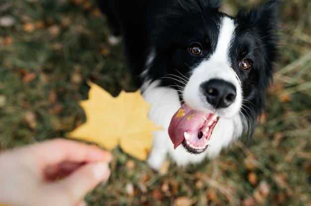 Cane di border collie bianco e nero nella foresta di autunno Foto Premium