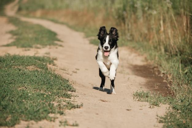 Cucciolo di cane border collie bianco e nero nel campo Foto Premium