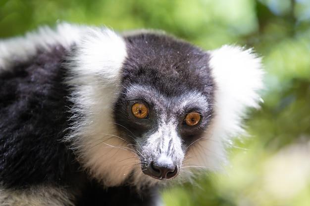 Vari lemur in bianco e nero sembra piuttosto curioso. Foto Premium
