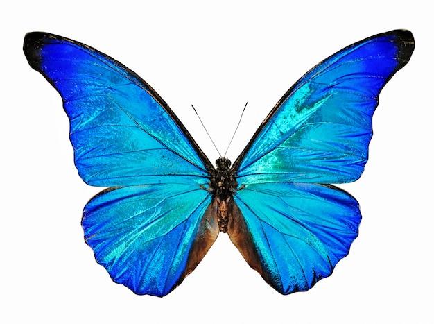 Morpho anfibio blu della farfalla isolato Foto Premium