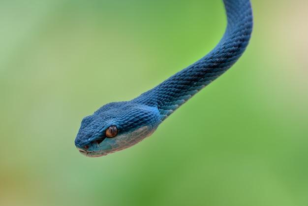Blue insularis pit viper closeup, serpente velenoso Foto Premium