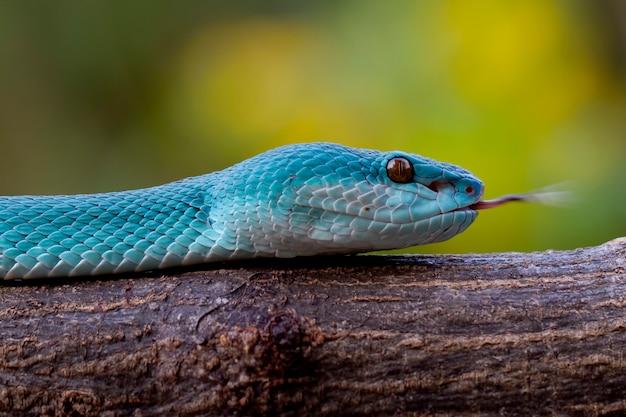 Serpenti blu vipera insularis Foto Premium