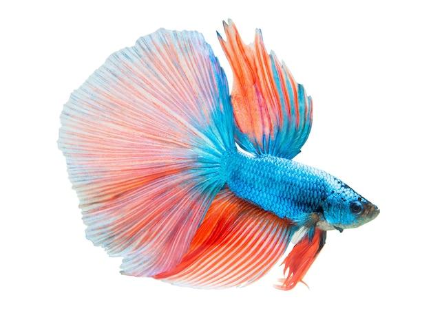 Pesce combattente blu e arancione isolato su bianco Foto Premium