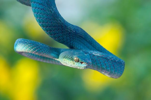 Serpente vipera blu sul ramo, serpente vipera pronto ad attaccare, insularis blu Foto Premium