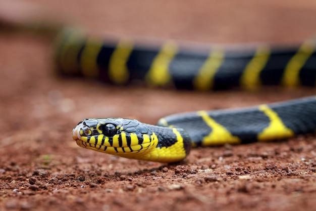 Boiga dendrophila, serpenti ad anello giallo Foto Premium