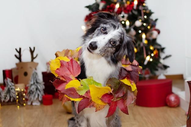 Border collie cane testa inclinabile che celebra il natale con una corona o una ghirlanda e decorazioni. Foto Premium