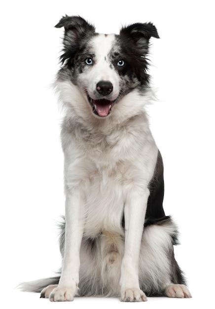 Border collie con 10 mesi. ritratto di cane isolato Foto Premium