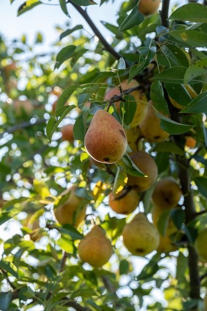 Ramo con pere succose mature. pero. pere e foglie. Foto Premium