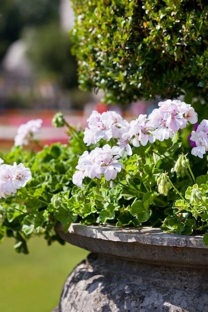 Luminosi fiori di heranium in antico vaso di pietra Foto Premium