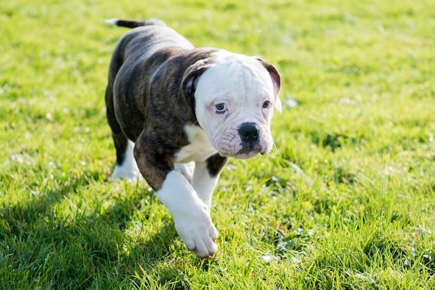 Cucciolo di cane bulldog americano cappotto tigrato è in esecuzione su erba verde Foto Premium