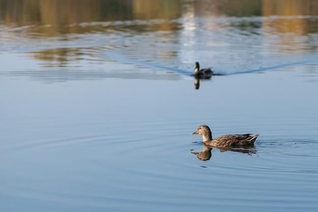 L'anatra marrone sta nuotando sulle acque blu del lago Foto Premium