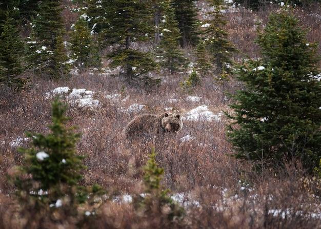 Orso grigio di brown lanuginoso sul prato in parco nazionale alla strada panoramica di icefields Foto Premium