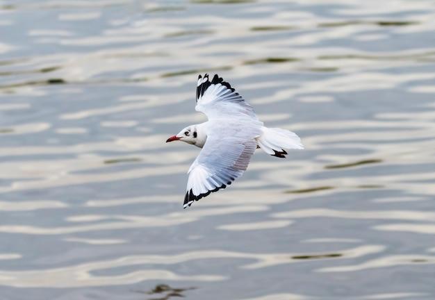 Il gabbiano marrone che vola sopra l'acqua in inverno, bang pu recreation center, thailandia Foto Premium