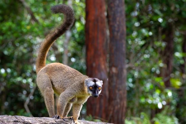 Lemure marrone gioca su un tronco d'albero Foto Premium