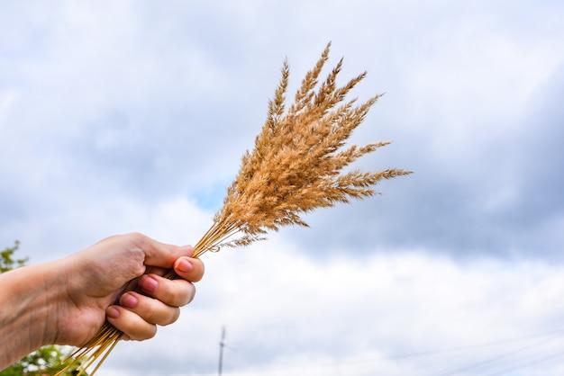 Mazzo di spighe di grano in mano. Foto Premium