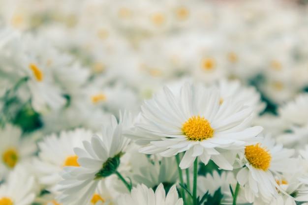 Mazzo di fiori della margherita bianca nel giardino. Foto Premium