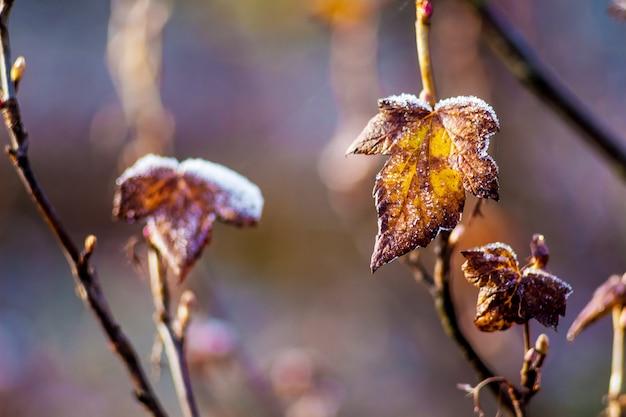 Un cespuglio di ribes durante le prime gelate. l'inizio dell'inverno in giardino Foto Premium