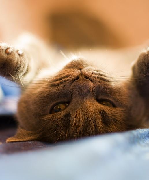 Il gatto si sta crogiolando nel letto con le zampe alzate. Foto Premium