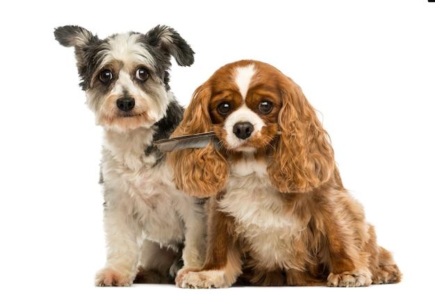Cavalier king charles spaniel con una piuma in bocca e cane incrocio seduto, isolato su bianco Foto Premium