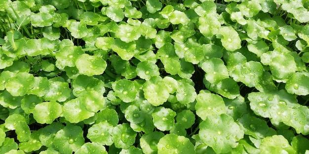 Centella asiatica, piante medicinali che hanno proprietà medicinali Foto Premium