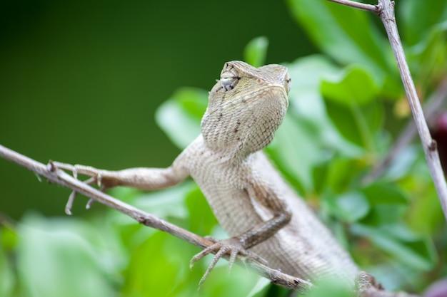 Camaleonte sulla foglia verde in giardino Foto Premium
