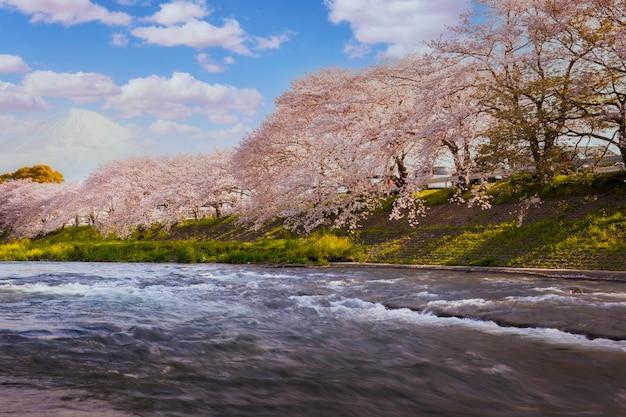 Fiori di ciliegio in piena fioritura / paesaggio di marzo in giappone. blooms, zakura sul monte fuji, giappone Foto Premium