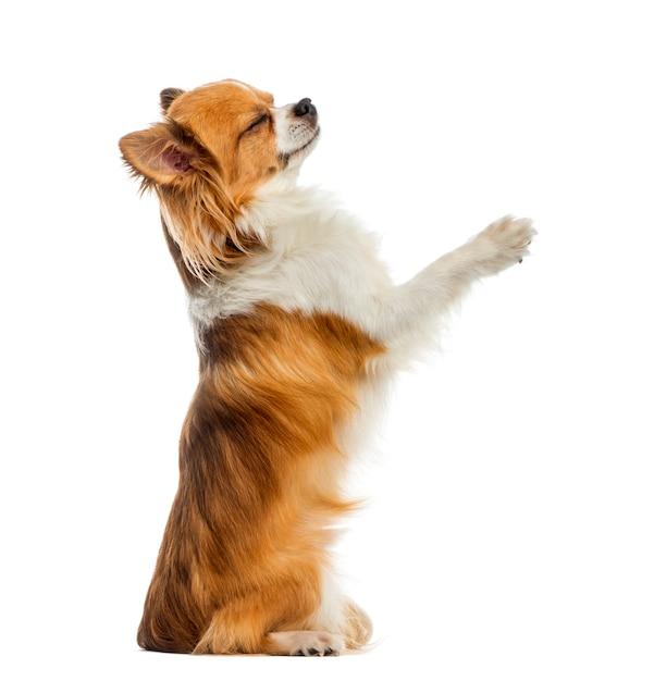 Chihuahua accattonaggio davanti a un muro bianco Foto Premium
