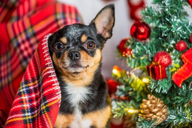 Cane chihuahua. chihuahua e natale. adorabile chihuahua del piccolo cane di natale Foto Premium