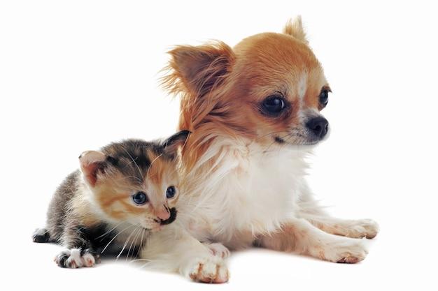 Chihuahua e gattino Foto Premium