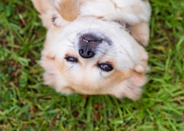 Chihuahua sdraiato sulla schiena nell'erba felice Foto Premium