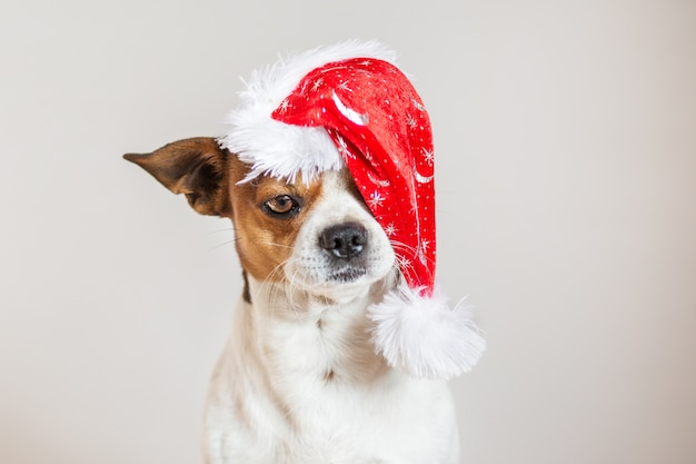 Ritratto della chihuahua in cappello di natale su un occhio Foto Premium