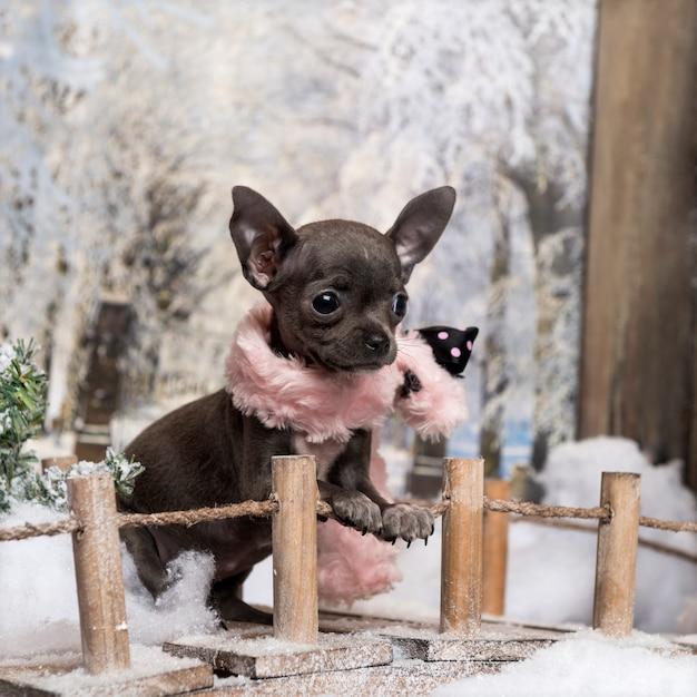 Cucciolo di chihuahua con sciarpa rosa, in piedi su un ponte in un paesaggio invernale, Foto Premium