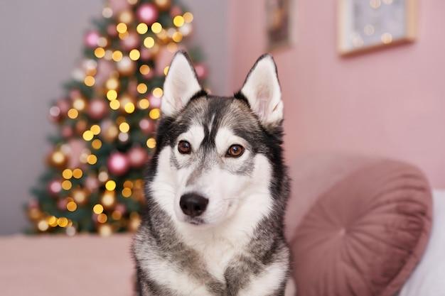 Cane husky di natale. concetto di hotel per animali. Foto Premium