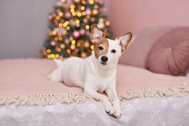 Natale jack russell terrier cane. concetto di hotel per animali. Foto Premium