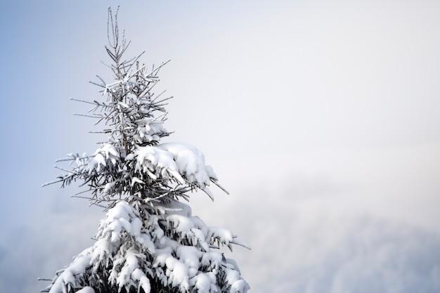 Albero di natale in mezzo alla neve e alla brina, i coni maturi pendono dai rami. messa a fuoco selettiva. Foto Premium