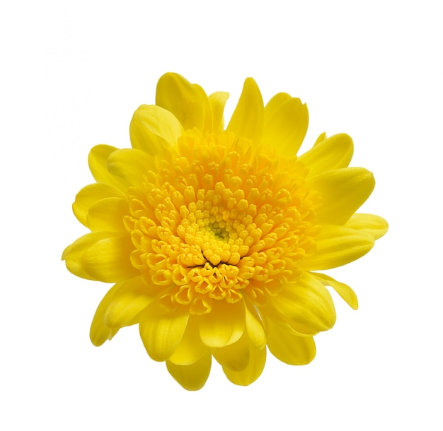 Crisantemo isolato su uno spazio bianco Foto Premium