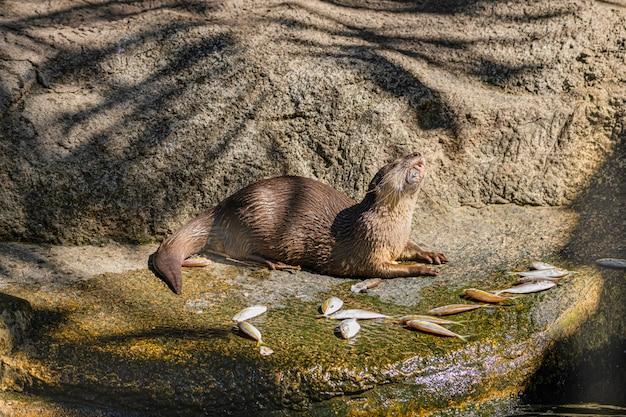 Lontra artigliata che mangia pesce nel mezzogiorno Foto Premium