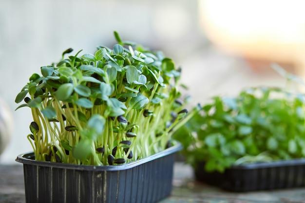 Primo piano di basilico girasole nella casella, germinazione di microgreens, germinazione dei semi a casa Foto Premium