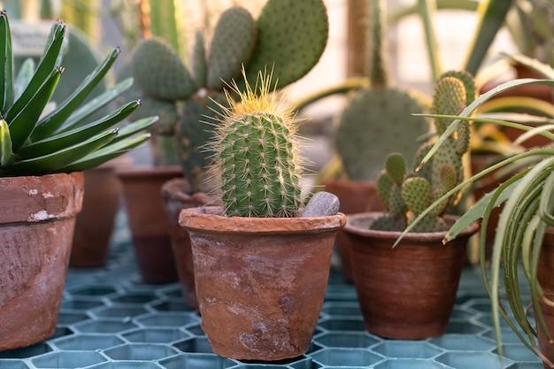 Chiuda in su della pianta del cactus nella vecchia pentola di terracotta di terracotta in serra Foto Premium