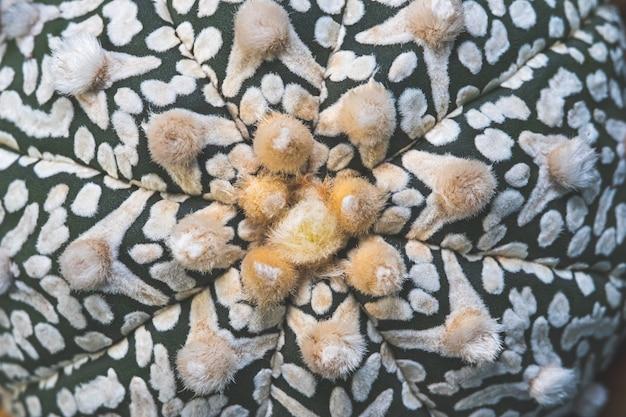 Primo piano del fondo delle asterie di astrophytum della pianta tropicale del cactus Foto Premium