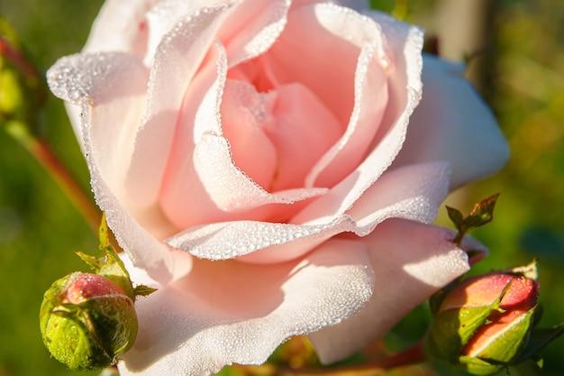 Primo piano su gocce di rugiada su bellissimi petali di rosa Foto Premium