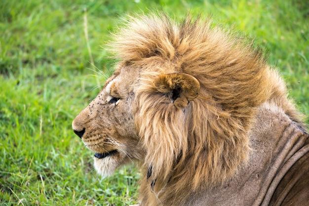 Il primo piano del volto di un leone nella savana del kenya Foto Premium