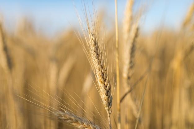 Spezia dorata del grano del primo piano Foto Premium