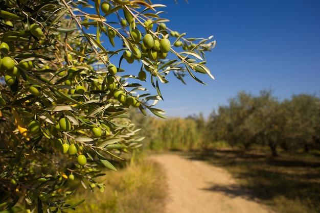 Primo piano di olive verdi istriane su un ramo Foto Premium