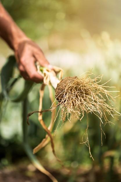 Verdura della tenuta della mano del primo piano Foto Premium