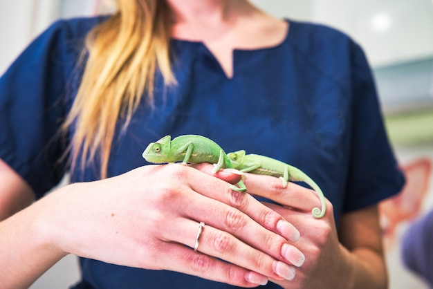 Primo piano delle mani di un veterinario con due piccoli camaleonti verdi e anello di fidanzamento. Foto Premium