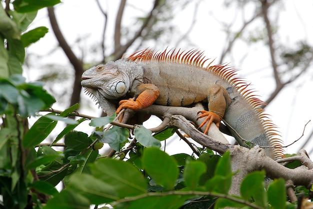 Chiuda sull'iguana sull'albero in natura alla tailandia Foto Premium